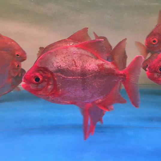 嘉兴玫瑰银版鱼